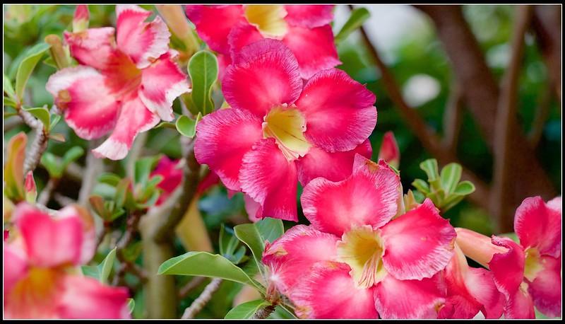 沙漠玫瑰-P5186697 (1)