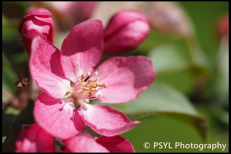 Crab apple blossom