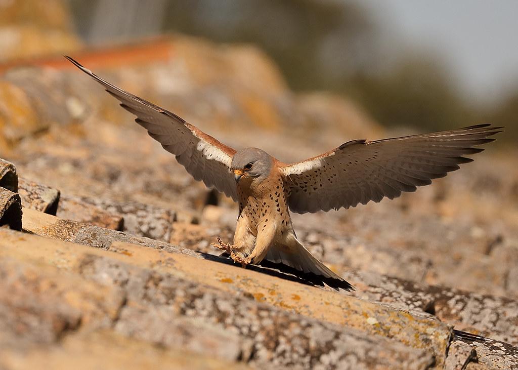 Lesser Kestrel Falco naumanni