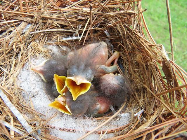 April 29, 2017 Baby Bluebirds