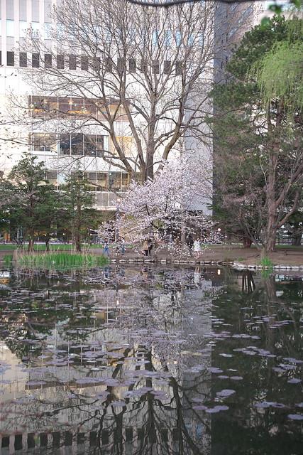 20170503札幌市中央区付近の桜_14