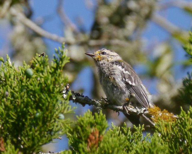 Golden-cheeked Warbler Fledgling - 2