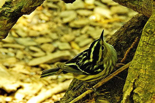 centralpk.black and white warbler