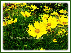 Fabulous Coreopsis (Calliopsis, Tickseed, Pot of Gold, Yellow Cosmos) flowering in abundance, 26 Oct 2013