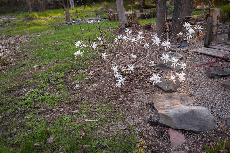 Magnolia stellata Pink Stardust 33865628174_6c5a1cc0fa_c