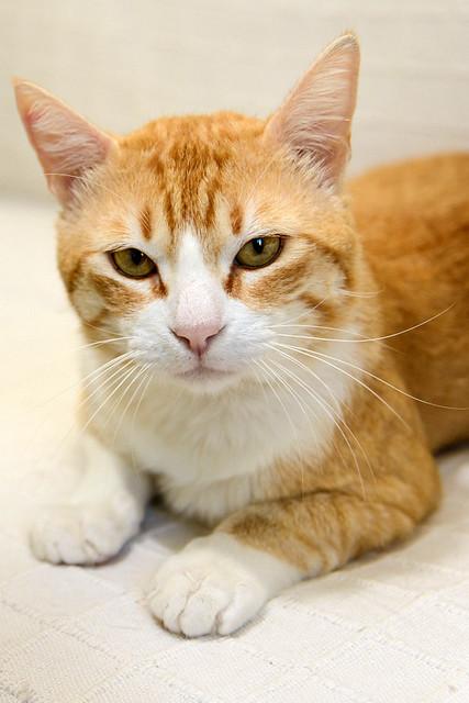 Robin, gato blanco y naranja guapo y súper dulce esterilizado, +inmunodeficiencia nacido en Marzo´15, en ADOPCIÓN ESPECIAL. Valencia. ADOPTADO. 33903013593_f0c2b2c3c9_z