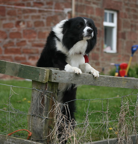 Very friendly collie