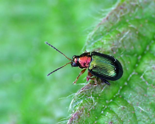 Willow Flea Beetle - Crepidodera aurata
