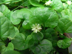 Dichondra repens - Kidney Weed