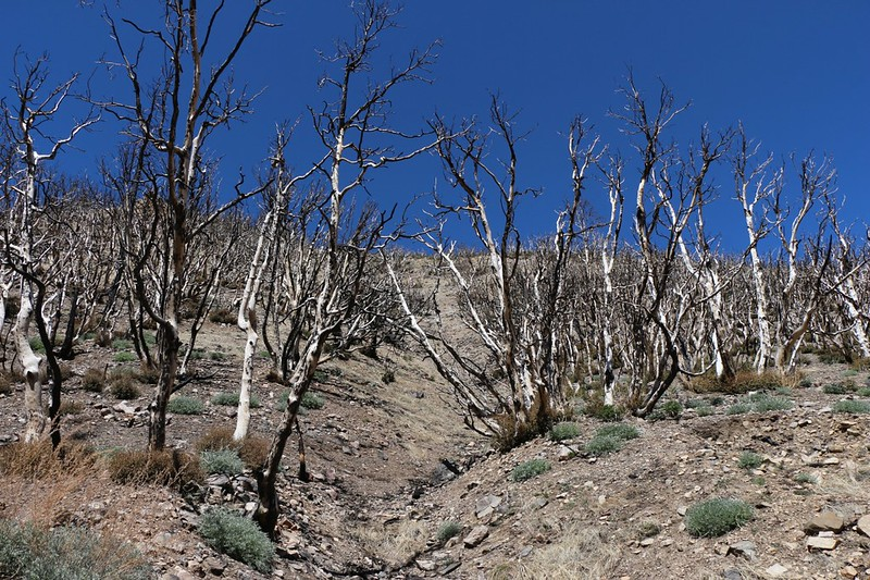 Looking uphill at skeletons of oak trees, but notice the new green shoots at the base of each stump! After the Lake Fire along the North Fork of Mission Creek on the PCT at mile 238