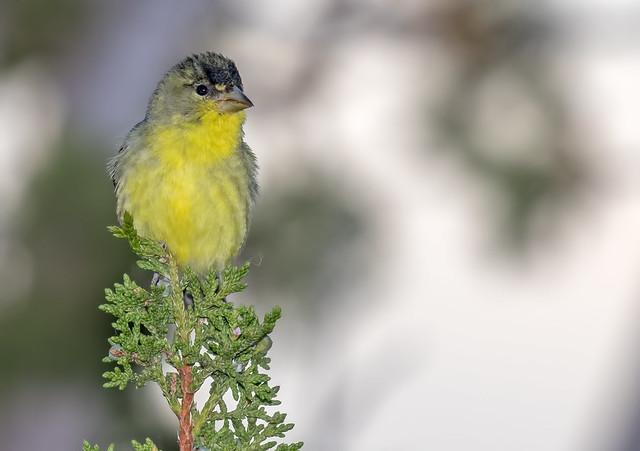 Lesser-Gold-Finch-54-7D2-041717