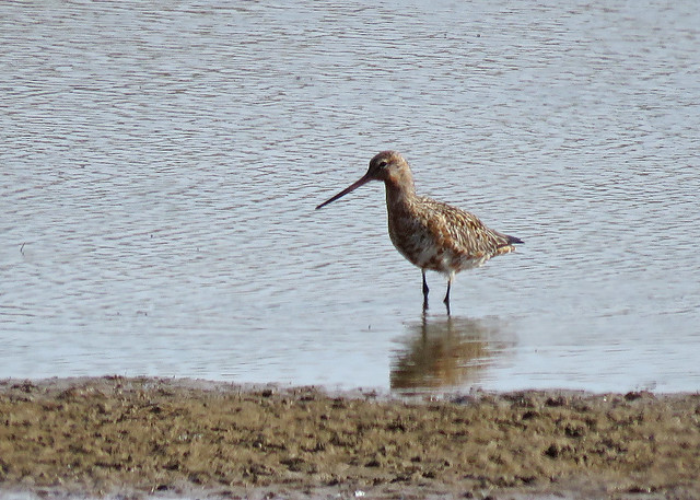 Bar-tailed Godwit - Limosa lapponica