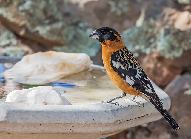 Black-headed-Grosbeak-12-7D2-050417