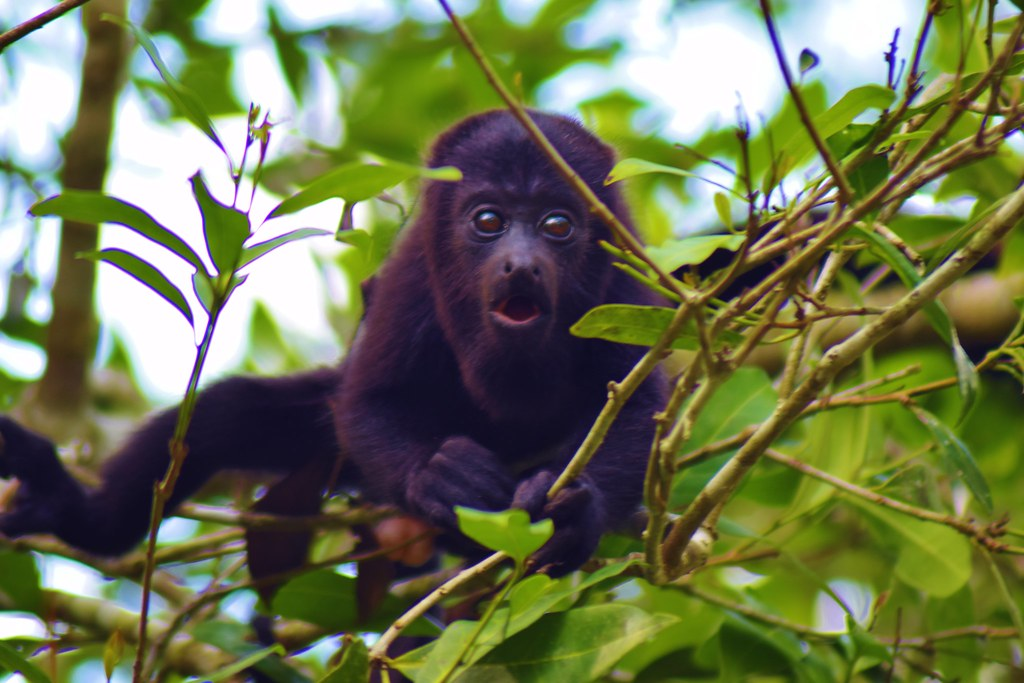 Belize zoo - howler monkey
