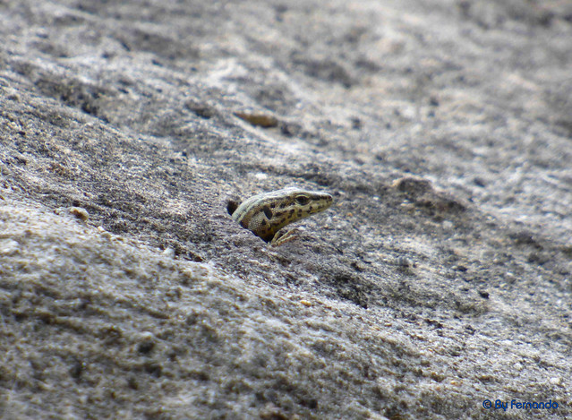 La Cova de l'Ocell - Lagartija 03 (07-05-2017)