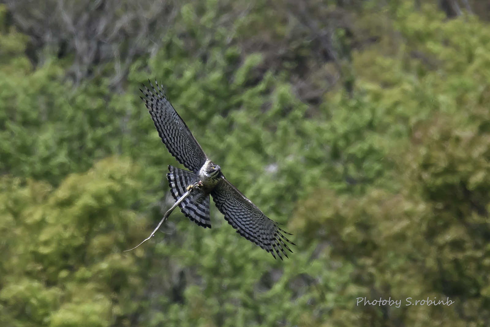 The Mountain hawk-eagle of prey have