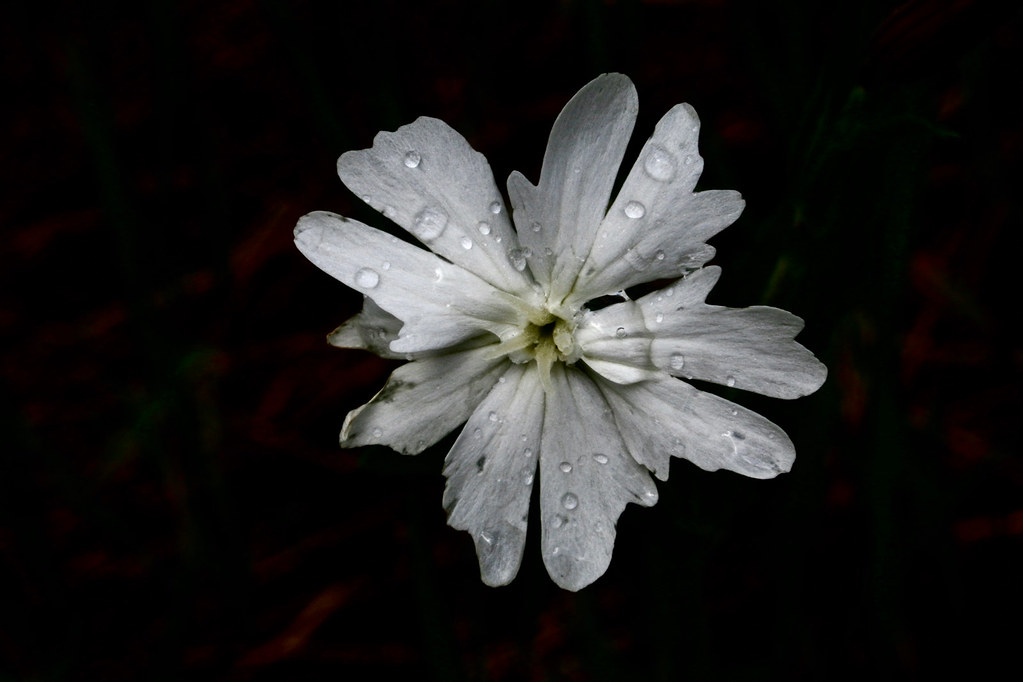 White Campion in the rain