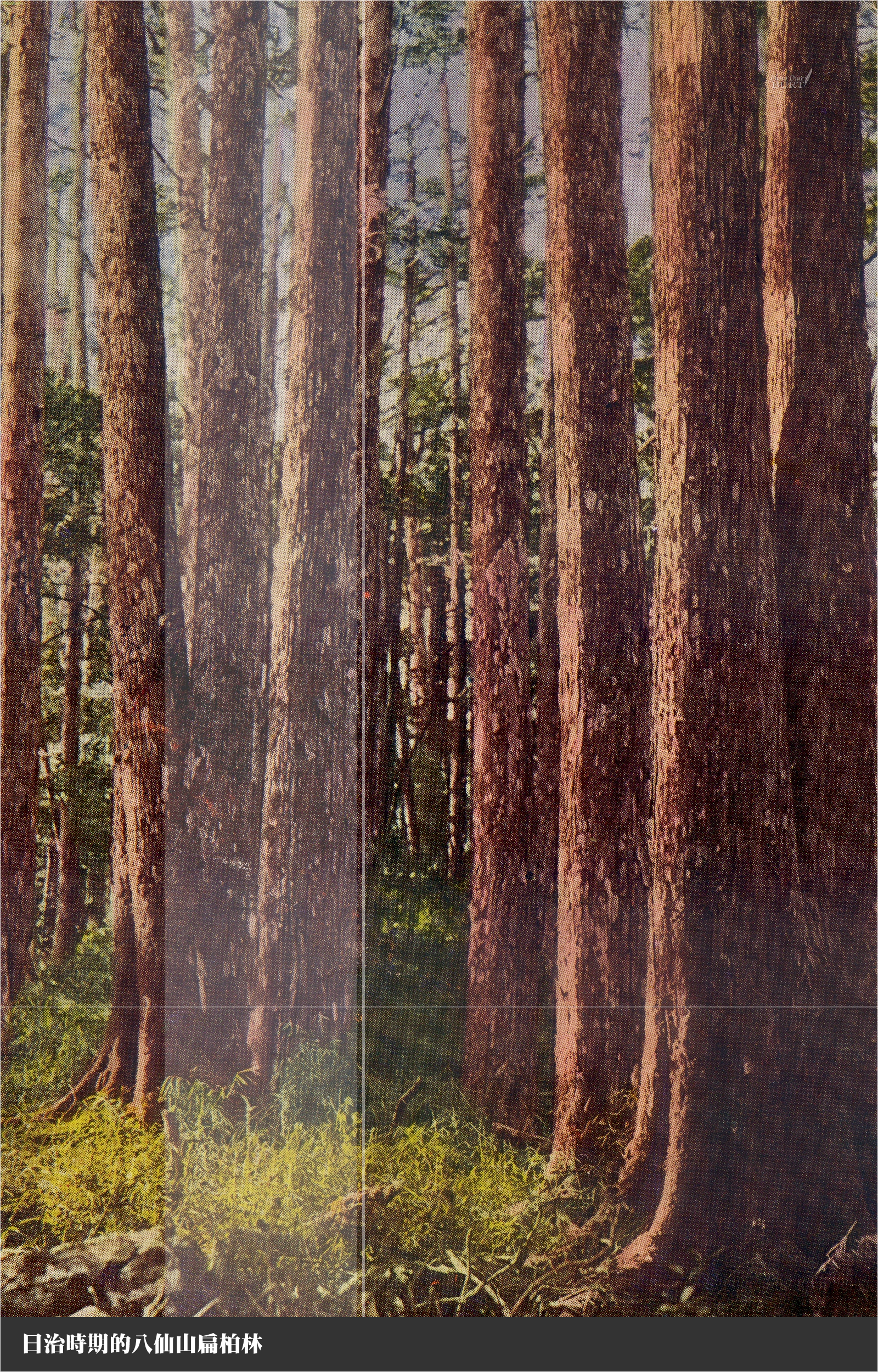 日治時期的八仙山扁柏林