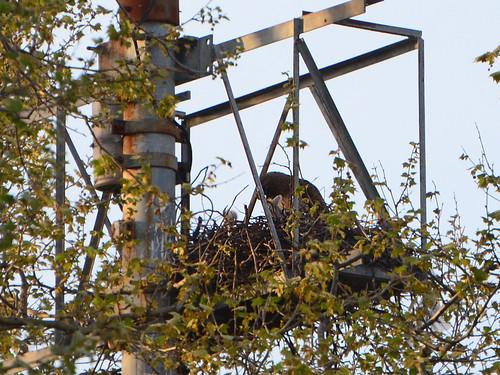 GT Hawk Nest - 2825