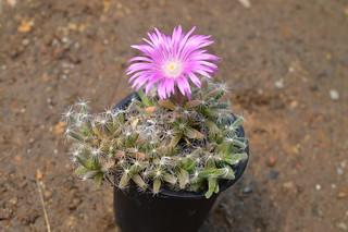 DSC_5589 Trichodiadema densum トリコディアデマ 紫晃星
