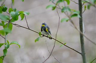 Yellow-rumped Warbler | by Neal D