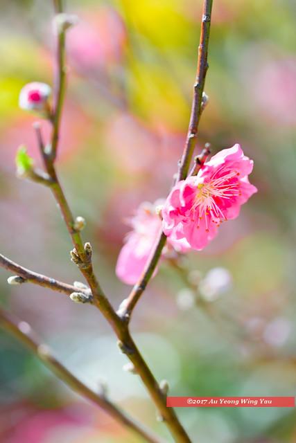 Plum blossom on spring day