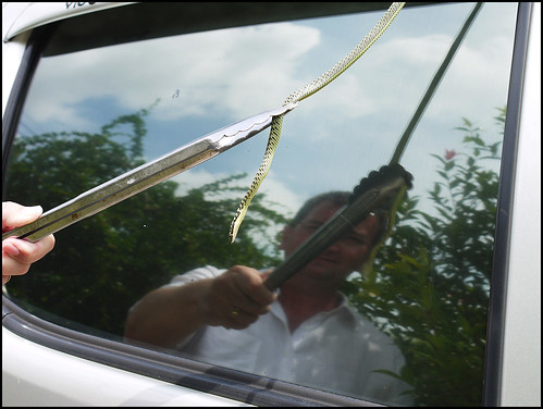 Golden Tree Snake on our car