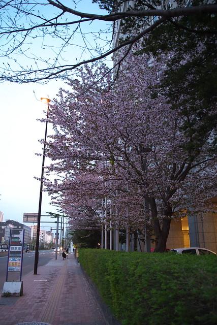 20170503札幌市中央区付近の桜_17