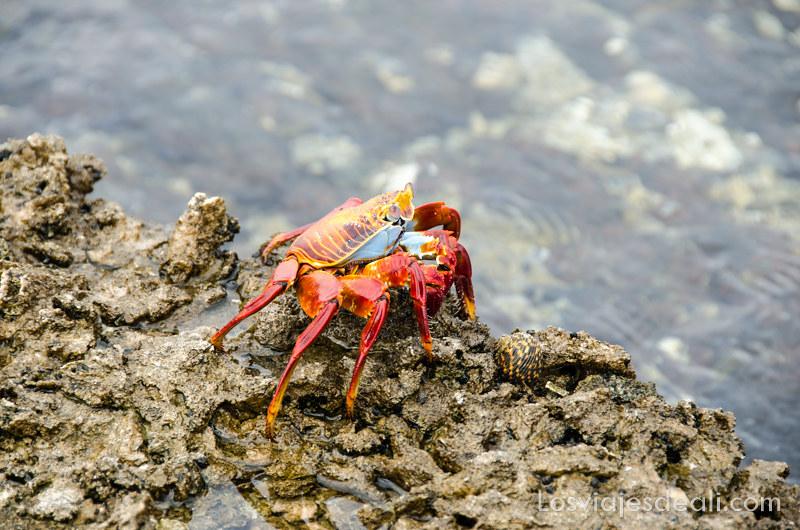 zapaya o cangrejo en isla San Cristóbal