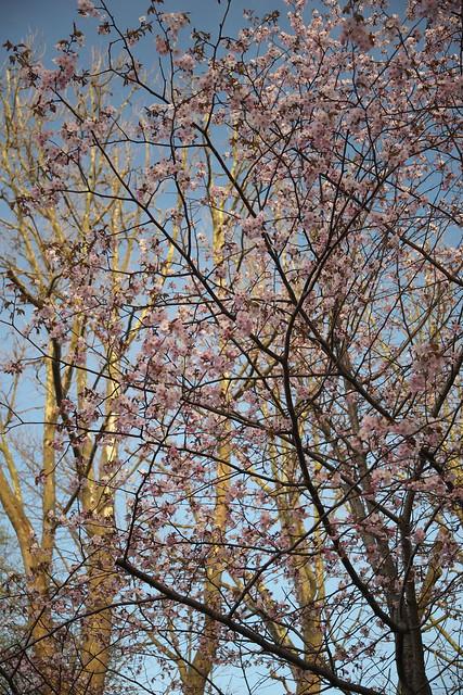 20170503札幌市中央区付近の桜_04