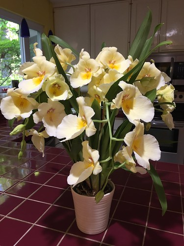 Miltoniopsis Pansy Faced Orchid