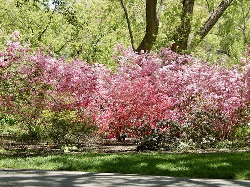 pretty pink azaleas