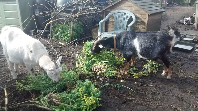 goats eatng sprouts Apr 17 (2)