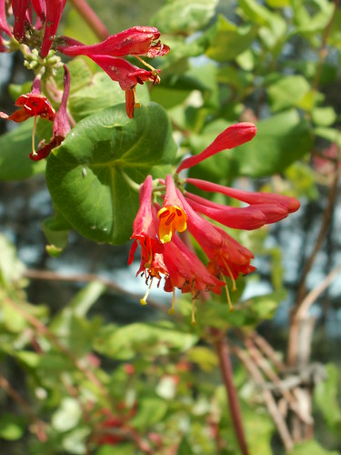 Lonicera x brownii 'Dropmore Scarlet' 34428747300_2be75a03d0