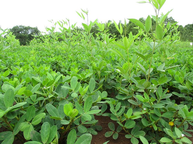 Doubled-up legume system demonstration and trials under conservation agriculture are being implemented by Africa RISING in Zambia's Eastern Province.