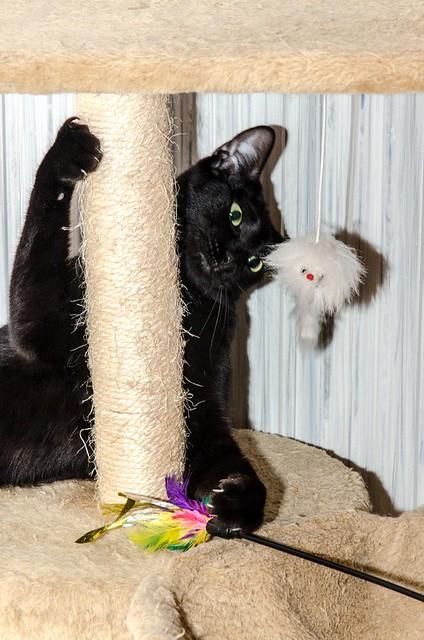 Morgana, gatita negra monísima, juguetona y tímida esterilizada, nacida en Julio´16, en adopción. Valencia. ADOPTADA. 34550972722_10ef7c7028_z