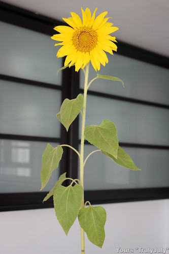This sunflower grew as a leftover seed from the rattie food.