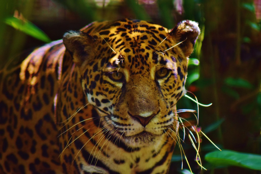Belize Zoo - Jaguar