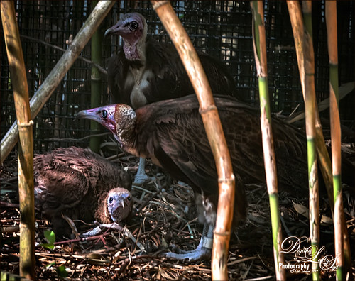 Image of a Hooded Vulture Family with the chick at the St. Augustine Alligator Farm