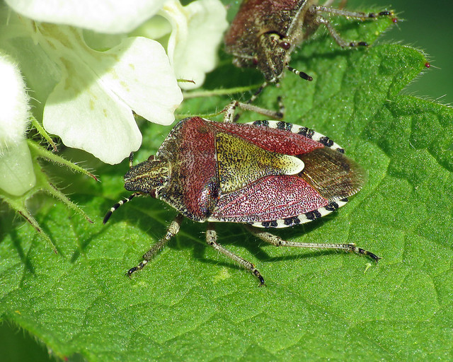 Hairy Shieldbug - Dolycoris baccarum