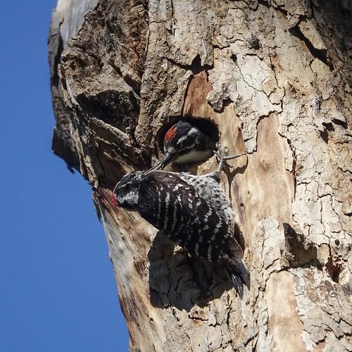 Nuttall's woodpecker feeding
