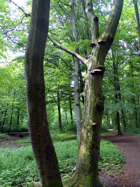 Eilenriede: Bracket Fungi on a Beech tree