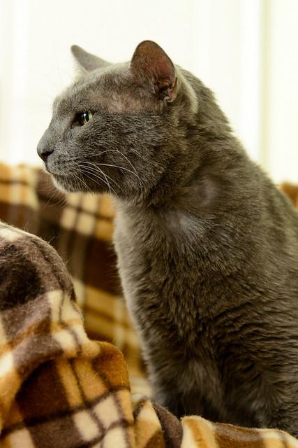 Gris, gato Cruce con Cartujo tímido y tranquilo positivo a inmunodeficiencia nacido en Agosto´15, en ADOPCIÓN ESPECIAL. Valencia. 34712339085_ac7171afd2_z