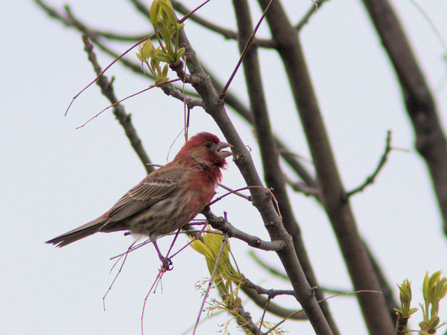 House Finch 03-20170503