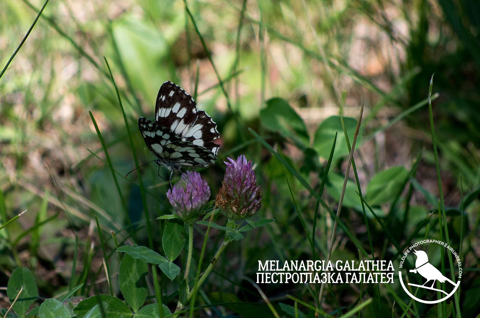 Melanargia galathea // 20170430