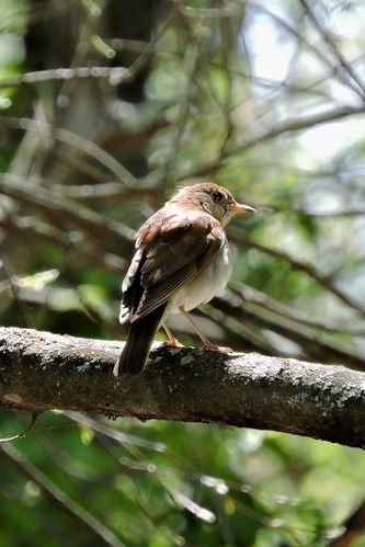 #34 Veery (Lifer #160)