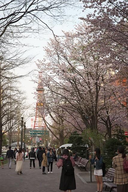 20170503札幌市中央区付近の桜_12