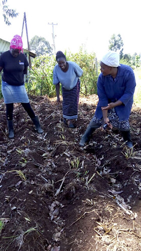 VPA Catherine Kirema demonstrating how to cut the stems or 'dehaulm' the crop to ensure the skin on the potato tubers is well formed and that tubers for seed do not get too big. | by International Livestock Research Institute