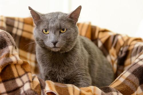 Gris, gato Cruce con Cartujo tímido y tranquilo positivo a inmunodeficiencia nacido en Agosto´15, en ADOPCIÓN ESPECIAL. Valencia. 34550726702_3e9653a9f9