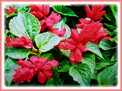 Showy scarlet red blossoms and serrated green leaves of Salvia splendens, 17 May 2017